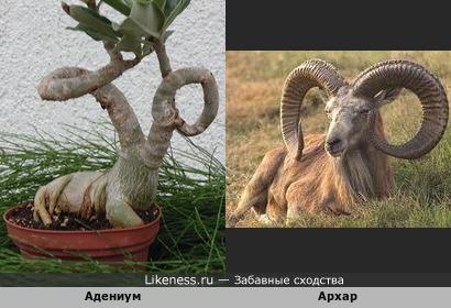 Адениум Архар