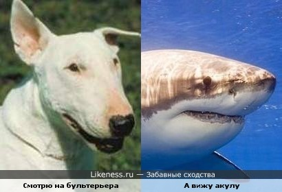 Бультерьер похож на акулу по моему.