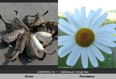 Коты похожи на ромашку
