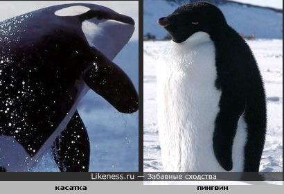 Касатка и пингвин похожи(расцветка,силуэт)