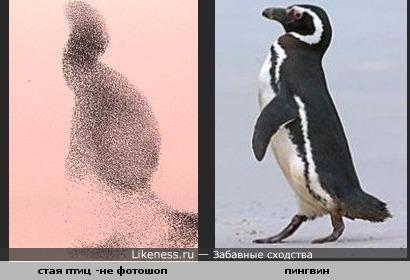 Стая птиц похожа на пингвина