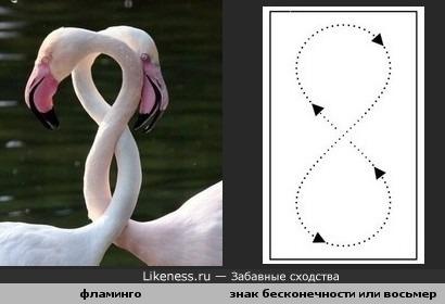 Шеи фламинго похожи на знак бесконечности