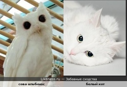 Сова альбинос очень похожа на белого кота