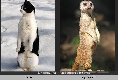 Кот позой похож на суриката