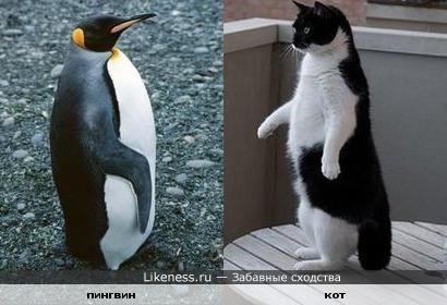 Пингвин и этот кот похожи