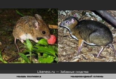 Удивительный олень который похож на мышь
