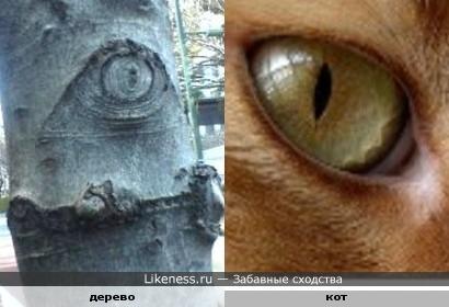 Шрам от сучка похож на глаз