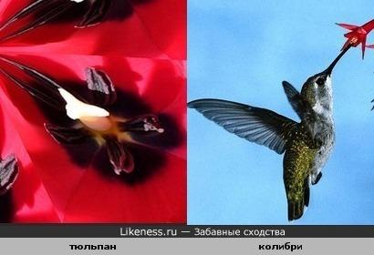 Серединка тюльпана похожа на колибри