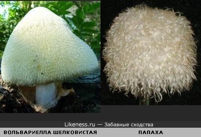 Древесный гриб похож на меховую шапку