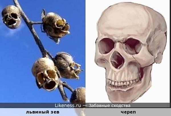 Семена растения *львиный зев* похожи на череп