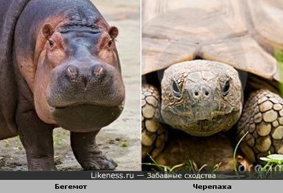 Нос и рот бегомота и голова черепахи