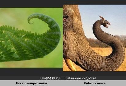 Лист папоротника напоминает хобот слона