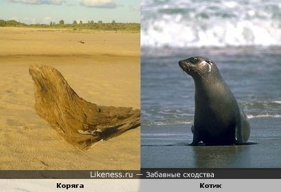 Коряга похожа на морского котика