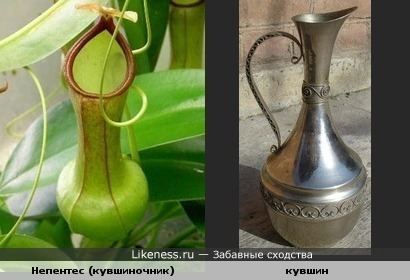 растение, по форме, похоже на кувшин