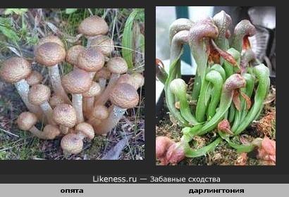 растение-хищник и грибы