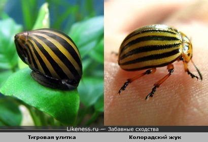 Тигровая улитка и Колорадский жук