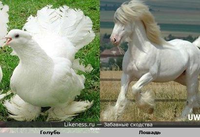 Лапки у голубя похожи на ноги у лошади -тяжеловоза.