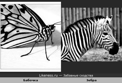 Бабочка и зебра одного окраса.