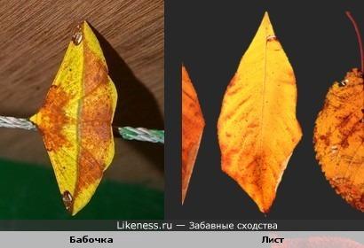 Бабочка похожа на осенний листок.