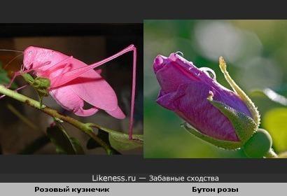 Розовый кузнечик, как бутон розы!