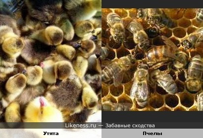 Утята похожи на пчел