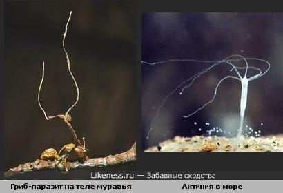 Гриб-паразит похож на актинию.