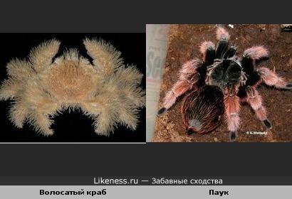 Краб похож на паука