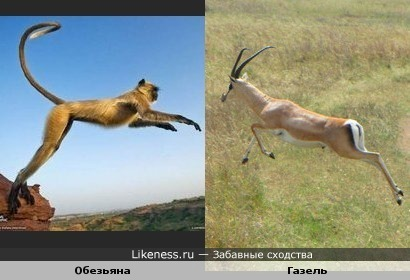 Обезьяна прыгает, как газель.