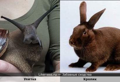 Улитка похожа на кролика и головой, и размером.