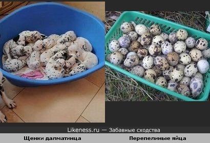 Щенки далматинца похожи на перепелиные яйца