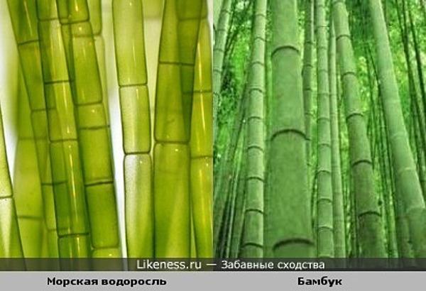 Морская водоросль похожа на бамбук.