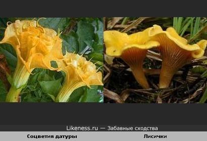 Соцветия датуры ну просто копия лисичек :)