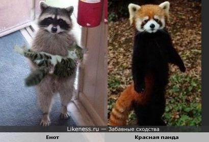 красная панда похож на енота!