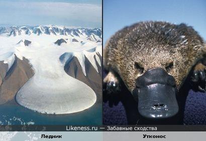 Ледник косит под утконоса