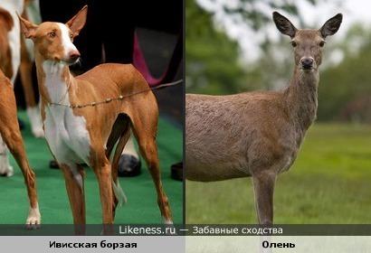 Собака похожа на оленя.