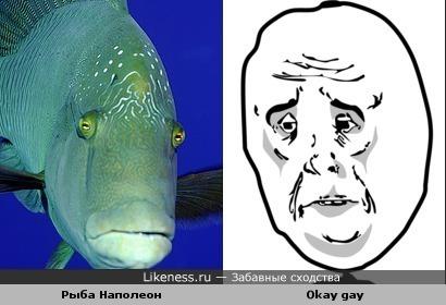 Рыба Наполеон похожа на Okay gay