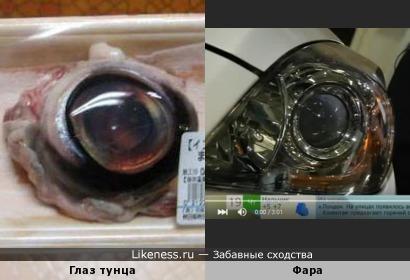Глаз тунца похож на фару автомобиля