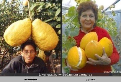 Лимоны - рекордсмены похожи на дыни