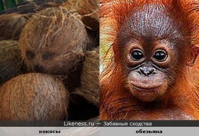Кокосовый орех похож на обезьянью мордашку