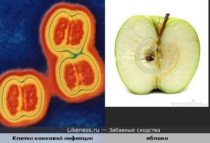Бактерии похожи по форме на яблоко