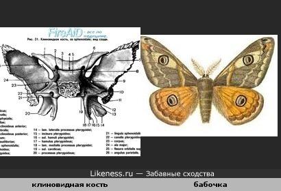 Кость черепа человека похожа на бабочку