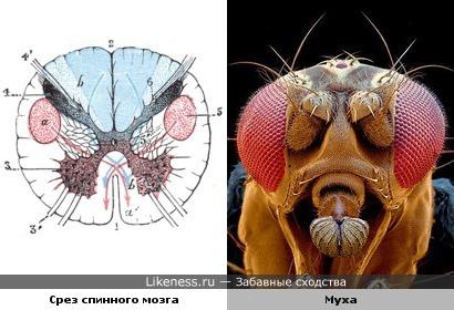 Поперечный срез спинного мозга напоминает голову мухи