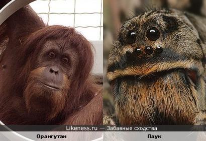 Паук похож на самца орангутана