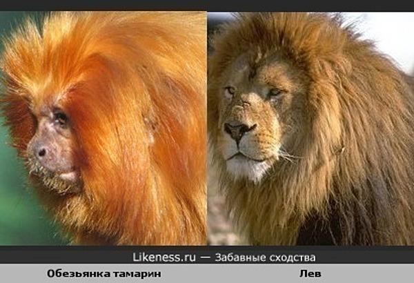 Эту обезьянку не зря называют Золотой Лев