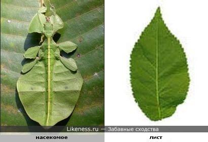 насекомое похоже на лист