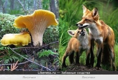 Лисички похожи на лисичек