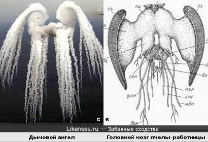 Дымовой ангел и головной мозг пчелы-работницы