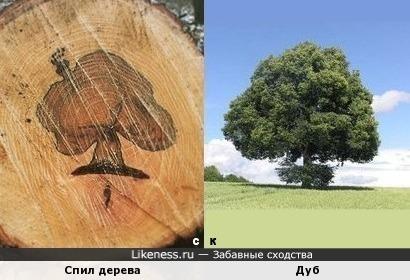 Спил дерева и Дуб