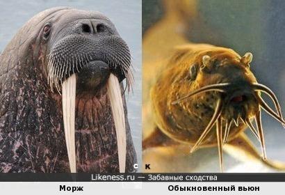 Морж и Обыкновенный вьюн