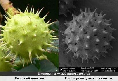 Конский каштан и Пыльца под микроскопом